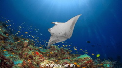 Manta... by Anthony Smith 